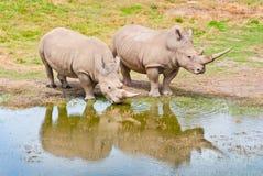 Dos Rhinozeros que bebe en el lago Fotografía de archivo libre de regalías