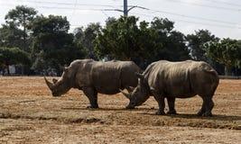 Dos rinocerontes Fotografía de archivo