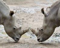 Dos rinocerontes Imagen de archivo libre de regalías