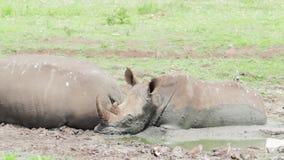 Dos rinocerontes blancos en un agujero de riego fangoso Kwazulu Natal metrajes
