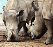 Dos rinocerontes en la confrontación. Imagen de archivo libre de regalías