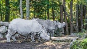 Dos rinocerontes indios hermosos que se unen en una especie en peligro muy rara del paisaje del bosque imagen de archivo