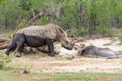 Dos rinocerontes que comparten un fango-baño en la reserva del juego de Hluhluwe/Imfolozi en Kwazulu Natal, Suráfrica Fotografía de archivo