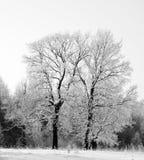 Dos robles en la nieve blanco y negro Imagen de archivo