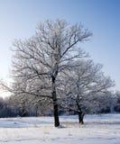 Dos robles en la nieve grande y pequeña Fotografía de archivo