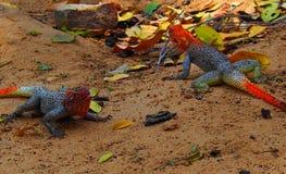 Dos rojo-dirigieron los Agamas de la roca que jugaban en la arena fotos de archivo