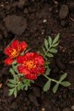 Dos rojos y flores amarillas fotografía de archivo