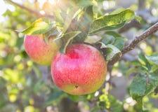 Dos rojos y manzanas verdes en un árbol en un día de verano Imagen de archivo libre de regalías