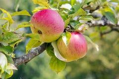Dos rojos y manzanas verdes en una rama Foto de archivo libre de regalías