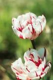 Dos rojos y tulipanes blancos imagenes de archivo