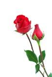 Dos rosas Imagenes de archivo