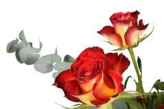 Dos rosas Fotos de archivo libres de regalías