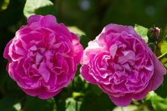 Dos rosas Fotografía de archivo libre de regalías