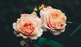Dos rosas Foto de archivo libre de regalías