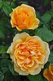 Dos rosas anaranjadas Imágenes de archivo libres de regalías