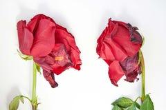 Dos rosas descoloradas rojas en un fondo blanco foto de archivo