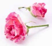 Dos rosas hermosas. Fotografía de archivo