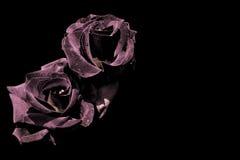 Dos rosas oscuras aisladas en negro Foto de archivo