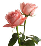 Dos rosas pálidas foto de archivo