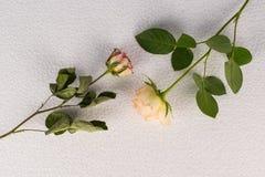Dos rosas ponen en contraste - las flores precisas frescas fotos de archivo