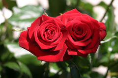 Dos rosas que se besan foto de archivo