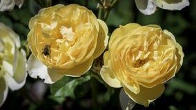 Dos rosas que son amarillas con una abeja Imagenes de archivo