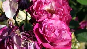 Dos rosas rojas que se mueven en brisa apacible almacen de video