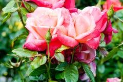 Dos rosas rosadas Imágenes de archivo libres de regalías