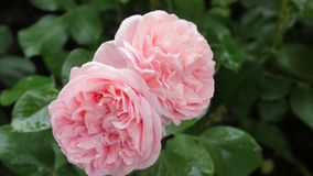 Dos rosas rosas claras en fondo verde Imagenes de archivo