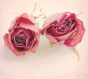 Dos rosas secadas Imágenes de archivo libres de regalías