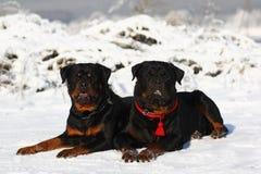 Dos Rottweilers Fotografía de archivo