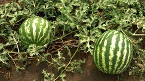 Dos sandías grandes en el campo del melón almacen de metraje de vídeo