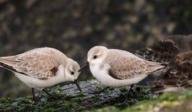 Dos Sanderlings en las rocas de la entrada fotos de archivo