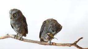 Dos scops europeos del Otus del búho de scops que se sientan en una rama en un fondo blanco Uno de los pájaros come langostas almacen de metraje de vídeo