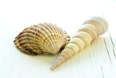 Dos seashells Imágenes de archivo libres de regalías