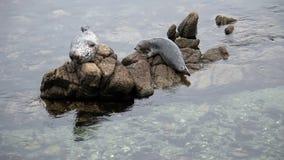 Dos sellos en la bahía California de Monterey de las rocas almacen de video