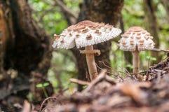 Dos setas de parasol crecer en un bosque imágenes de archivo libres de regalías