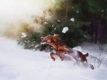 Dos setteres irlandeses rojos hermosos que corren rápidamente en bosque en día de invierno soleado Foto de archivo libre de regalías