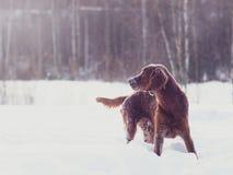 Dos setteres irlandeses rojos hermosos que corren rápidamente en bosque en día de invierno soleado Foto de archivo