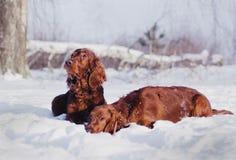 Dos setteres irlandeses rojos hermosos que corren rápidamente en bosque en día de invierno soleado Imagenes de archivo