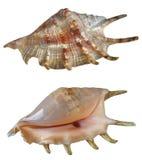 Dos shelles Fotografía de archivo