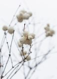 _5 dos Snowberries (Symphoricarpos) Imagem de Stock Royalty Free
