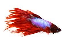 Dos splendens masculinos do betta de Crowntail peixes de combate Siamese do aquário Fotos de Stock