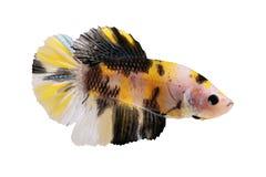 Dos splendens masculinos do betta de Koi peixes de combate Siamese do aquário Fotos de Stock