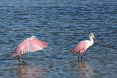 Dos Spoonbills rosados que se colocan en agua dulce imagenes de archivo