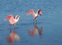 Dos Spoonbills rosados que separan sus alas después de un baño de agua fresco, una con un spoonbill abierto y una con un spoonbil imagenes de archivo
