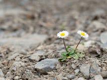 Dos supervivientes salvajes de la margarita, en la tierra pedregosa Foto de archivo