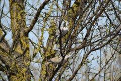 Dos tórtolas en las ramas de un albaricoque Imagen de archivo