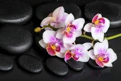 Dos termas vida bonita ainda do phalaenopsis roxo da orquídea no preto Foto de Stock