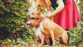 Dos terrieres de Staffordshire Perros en naturaleza con el dueño fotos de archivo libres de regalías